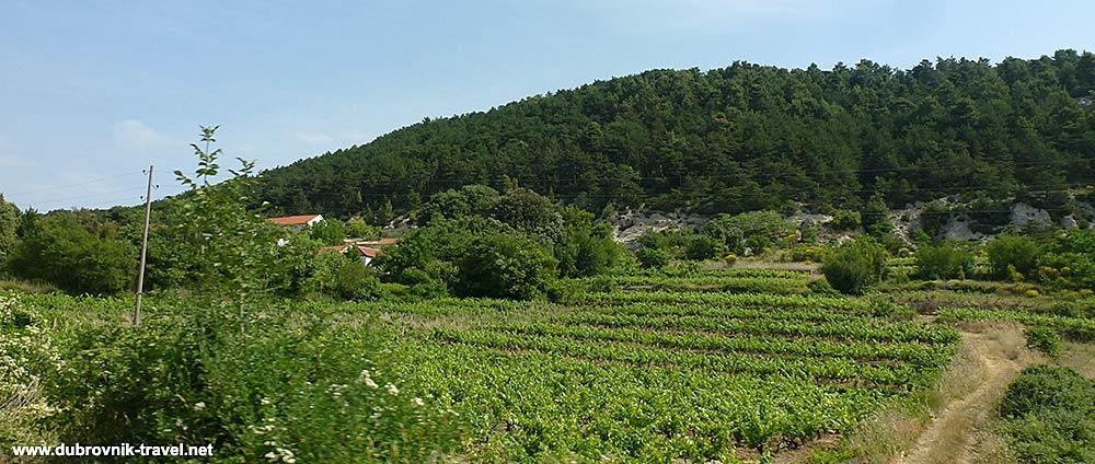small Vineyard in Potomje @ Peljesac